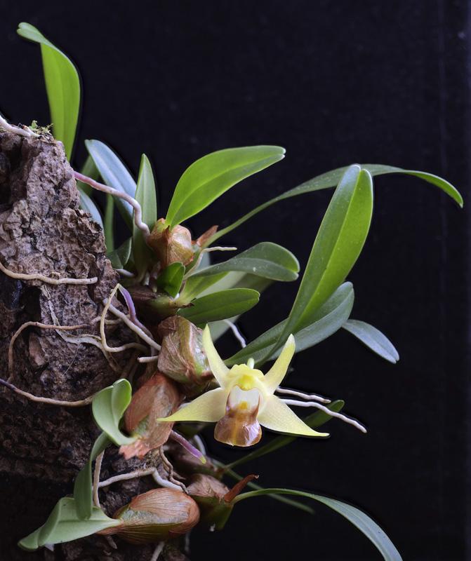 Miniatur-Orchideen Teil 6 2020-054