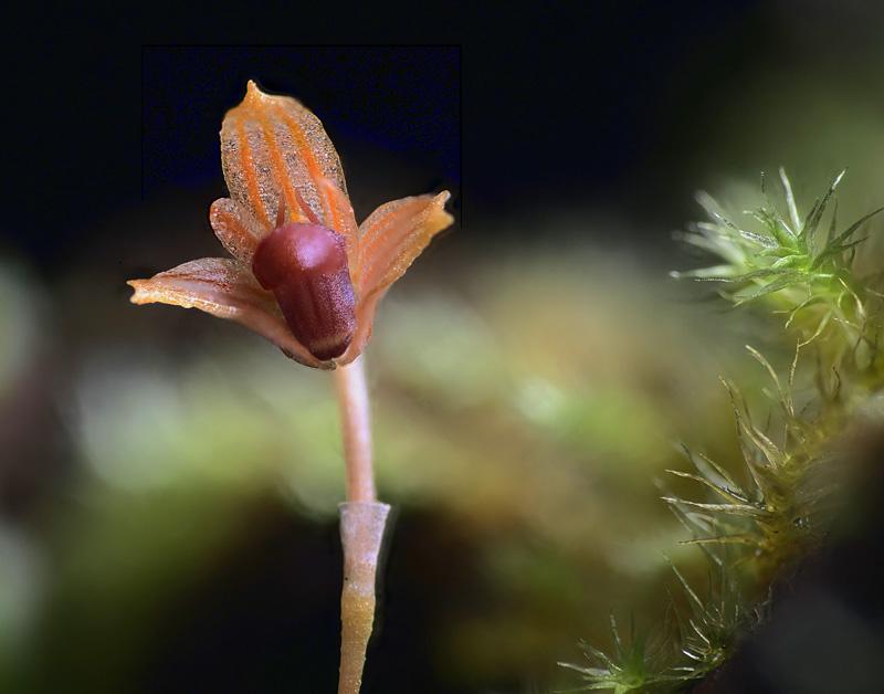 Bulbophyllum moniliforme 2020-060