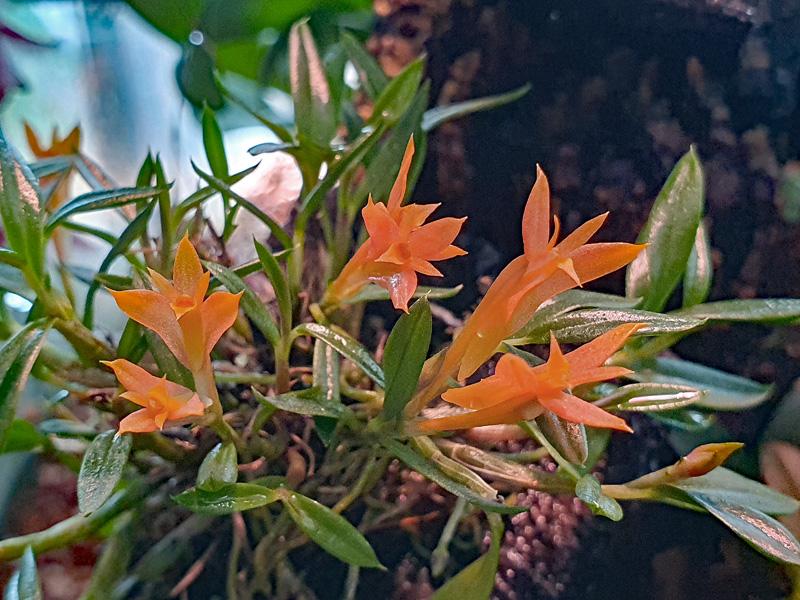 Dendrobium subacaule 20200414
