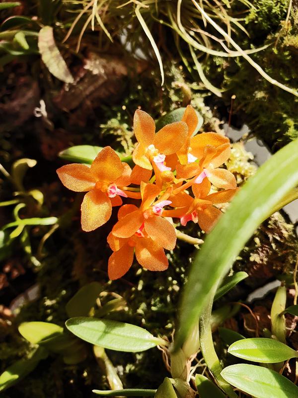 Miniatur-Orchideen Teil 6 - Seite 5 20201111