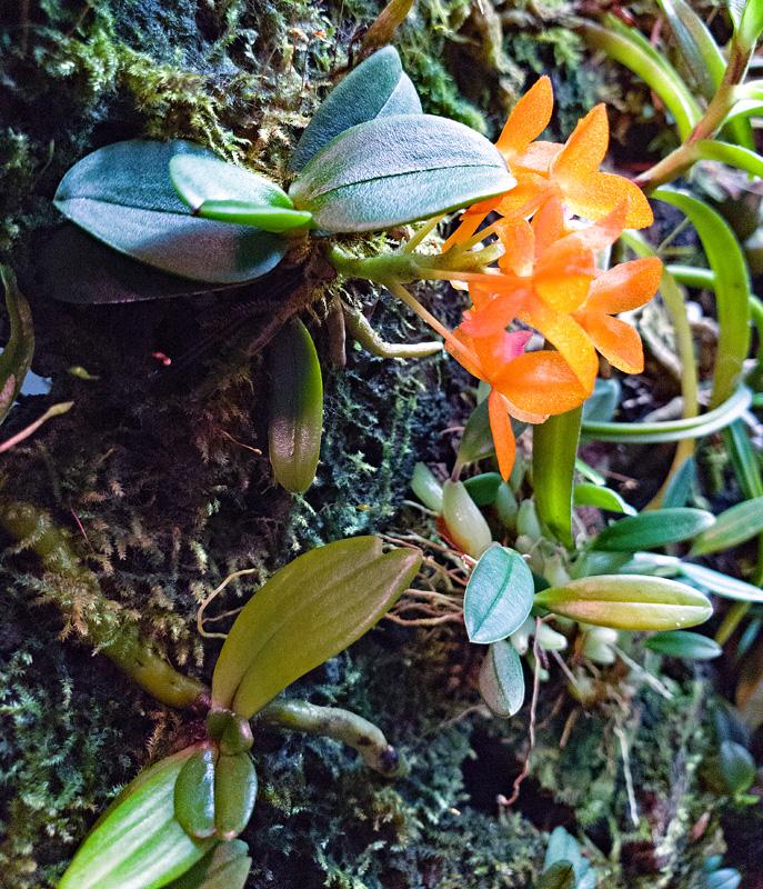 Miniatur-Orchideen Teil 6 - Seite 5 20201113
