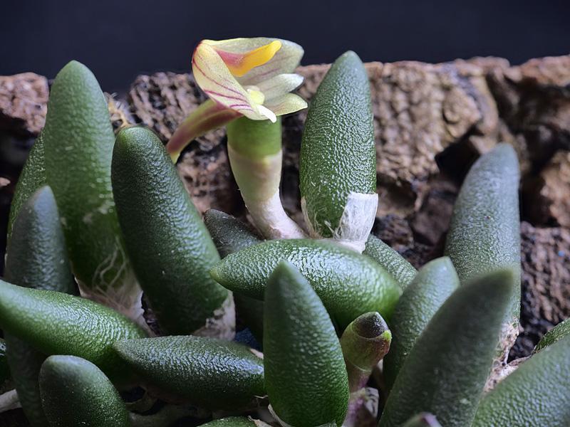 Dendrobium lichenastrum 2021-010