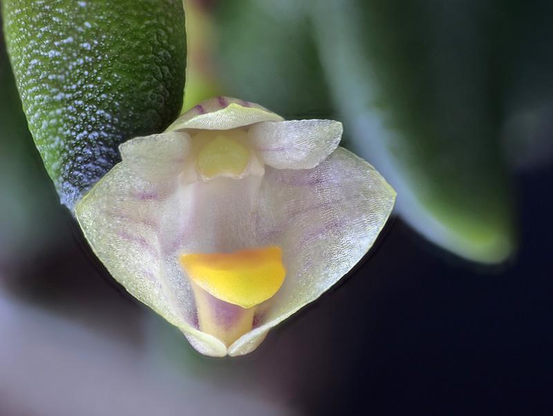 Dendrobium lichenastrum 2021-012