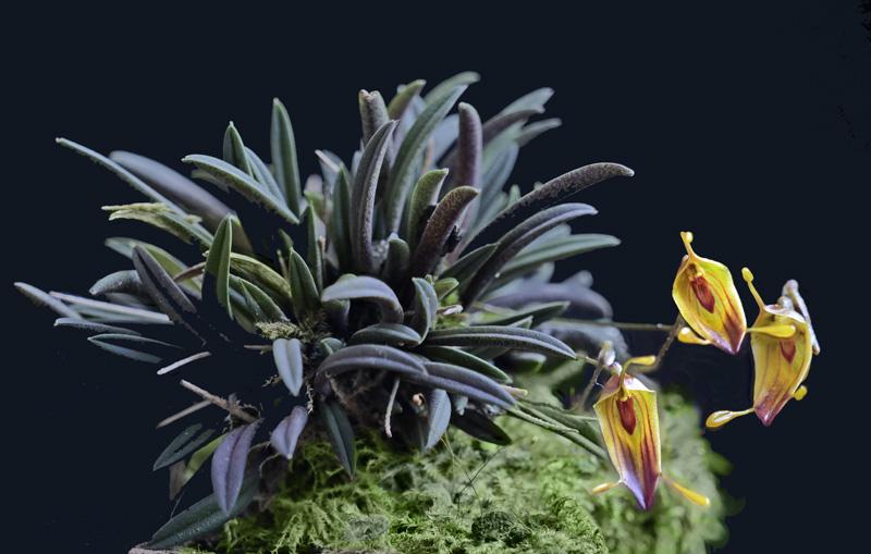 Miniatur-Orchideen Teil 6 - Seite 17 2021-015
