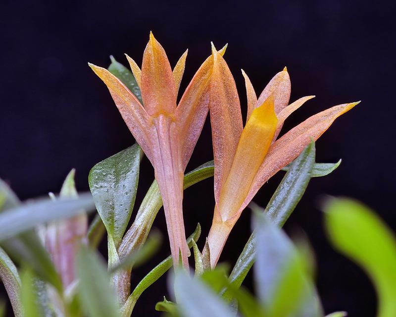 Dendrobium subacaule _100a11