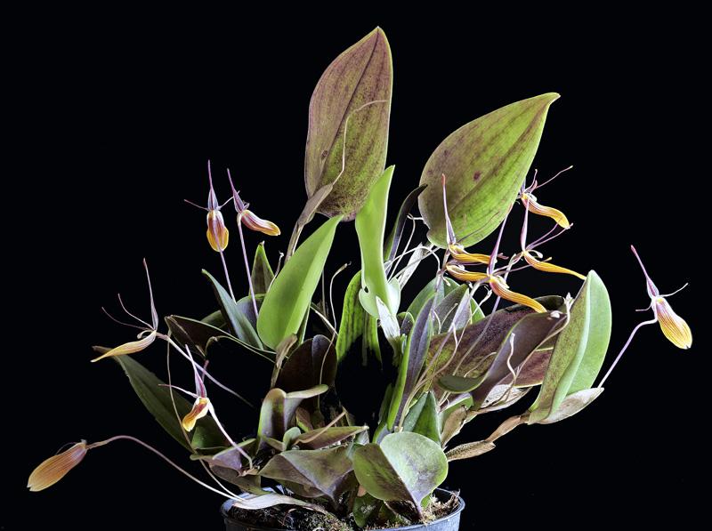 Miniatur-Orchideen Teil 5 - Seite 40 _1010811