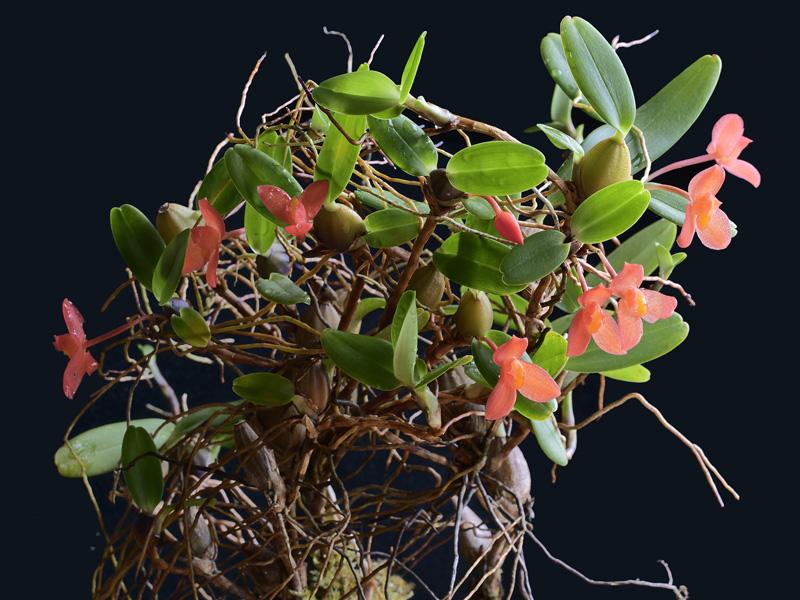 Maxillaria sophronitis  _1011011