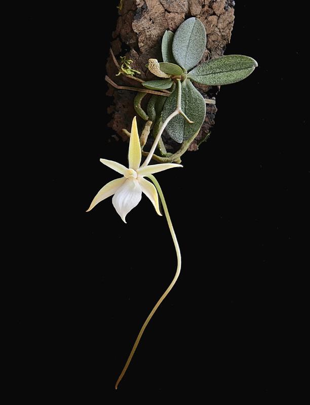 Miniatur-Orchideen Teil 5 - Seite 41 _1011310