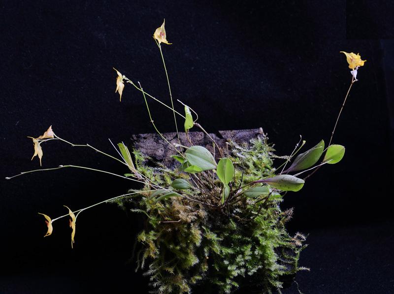 Miniatur-Orchideen Teil 6 - Seite 6 _1012614