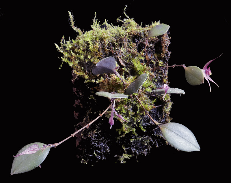Miniatur-Orchideen Teil 6 - Seite 6 _1012615