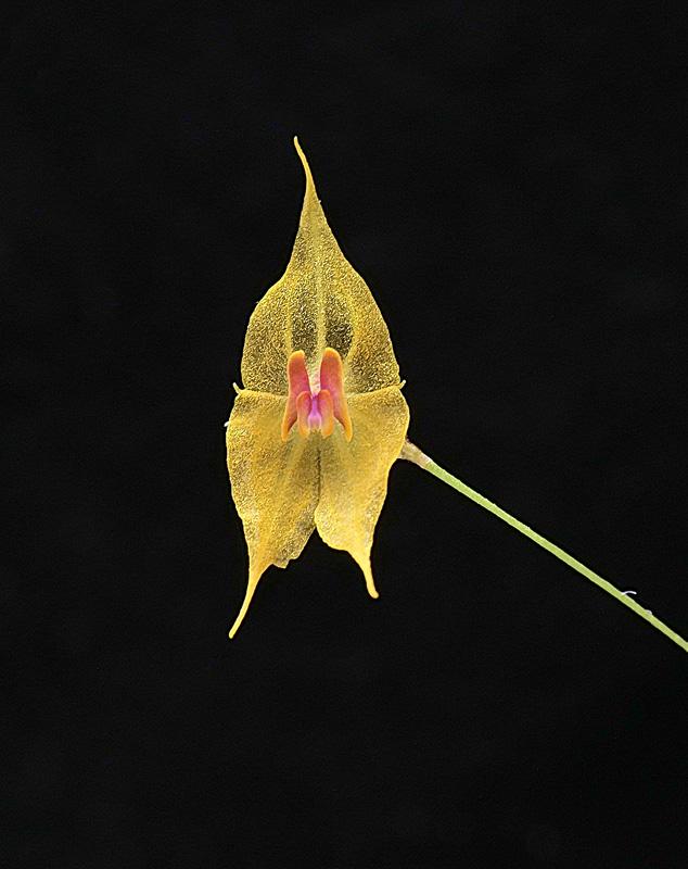 Miniatur-Orchideen Teil 6 - Seite 6 _1012616