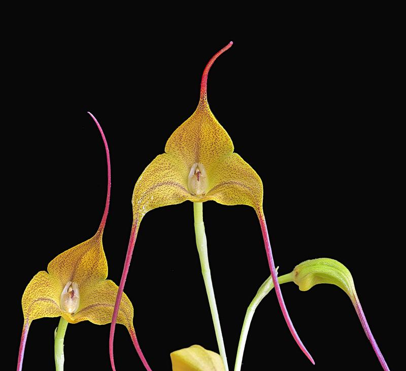 Miniatur-Orchideen Teil 5 - Seite 40 _103e010