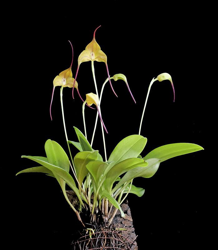 Miniatur-Orchideen Teil 5 - Seite 40 _10bb310