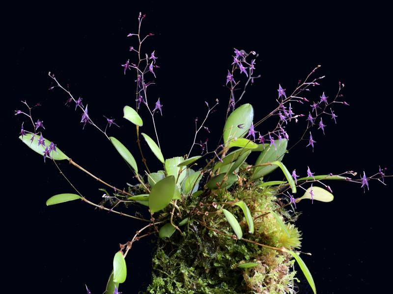 Miniatur-Orchideen Teil 5 - Seite 42 _asd1010
