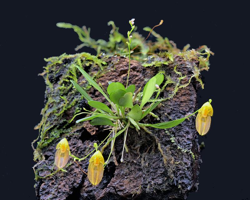 Acostaea costaricensis Acosta13