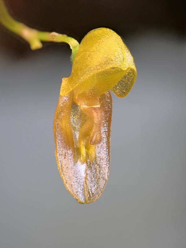 Acostaea costaricensis Acosta15