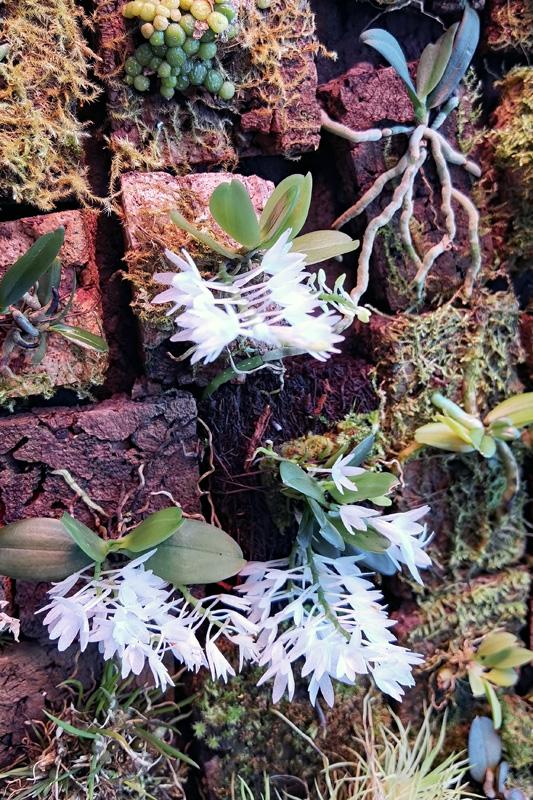 Aerangis hyaloides Aerang13