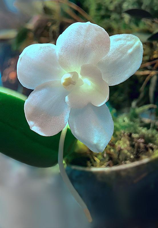 Amesiella monticola Amesie12