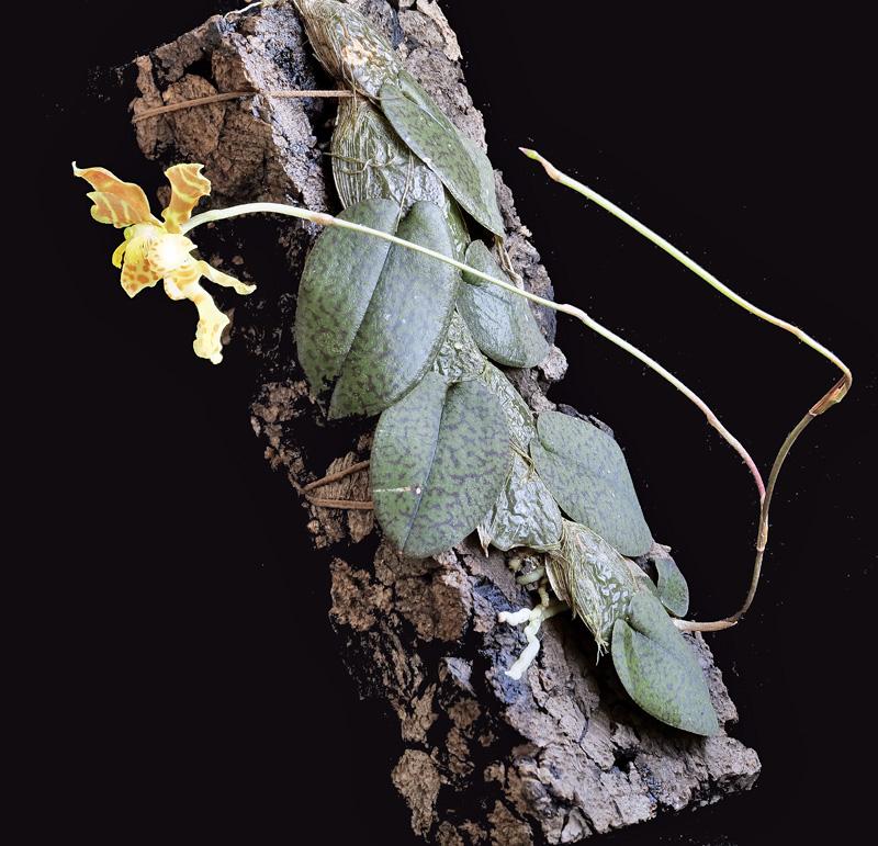 Miniatur-Orchideen Teil 5 - Seite 40 Axc_1010