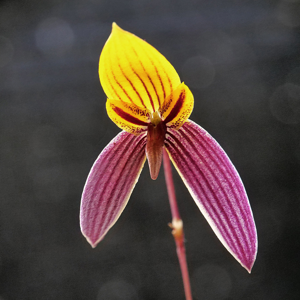 Miniatur-Orchideen Teil 5 - Seite 5 Bulb111