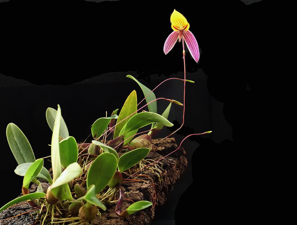 Miniatur-Orchideen Teil 5 - Seite 5 Bulb_b10