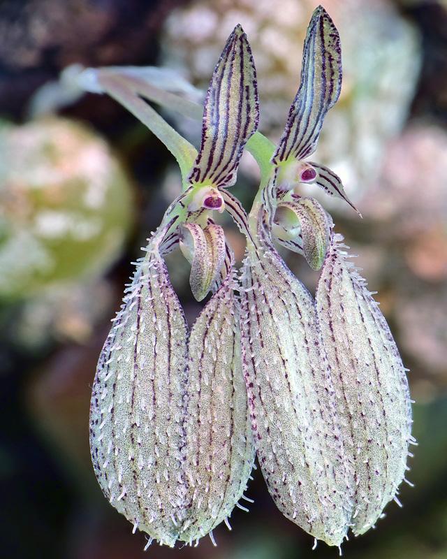 Bulbophyllum polliculosum Bulb_p14
