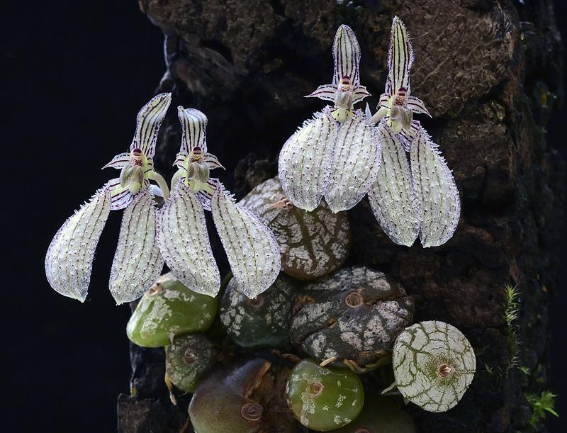 Bulbophyllum polliculosum Bulb_p15