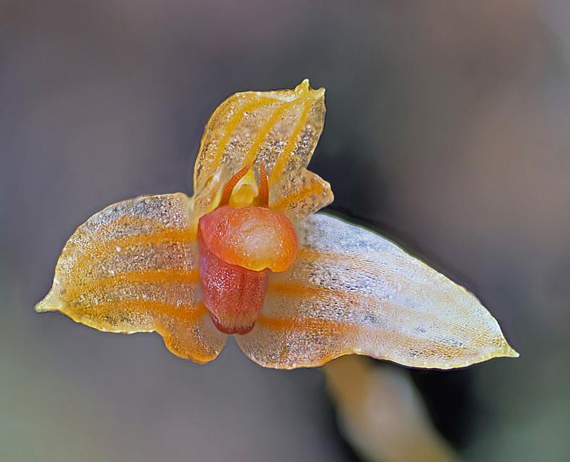 Makroaufnahmen von Miniaturorchideen Bulbop19