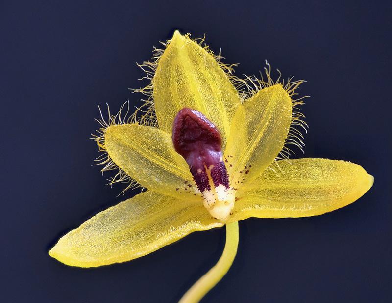 Bulbophyllum aestivale  Bulbop20