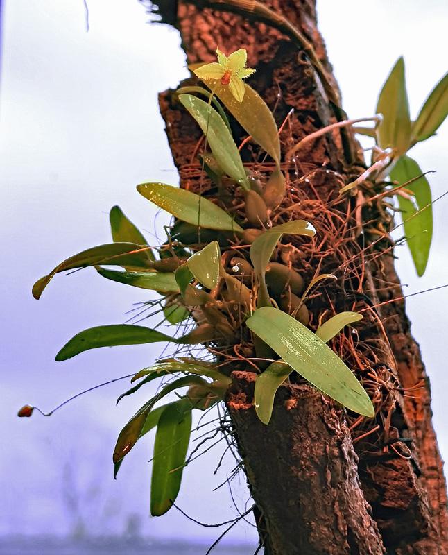 Bulbophyllum aestivale  Bulbop21