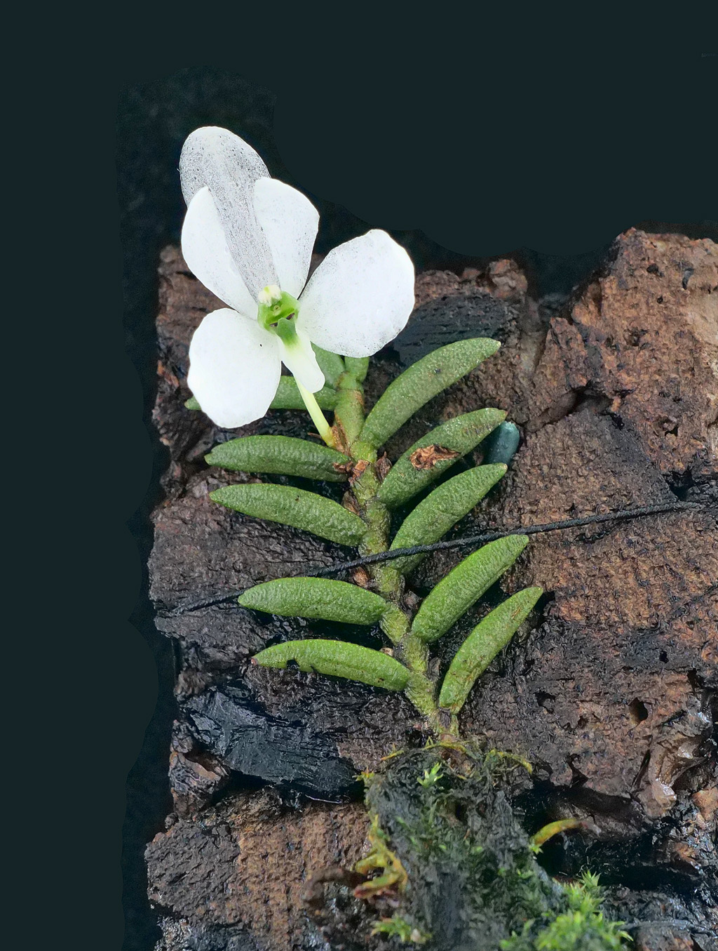 Miniatur-Orchideen Teil 5 - Seite 6 Cerato11