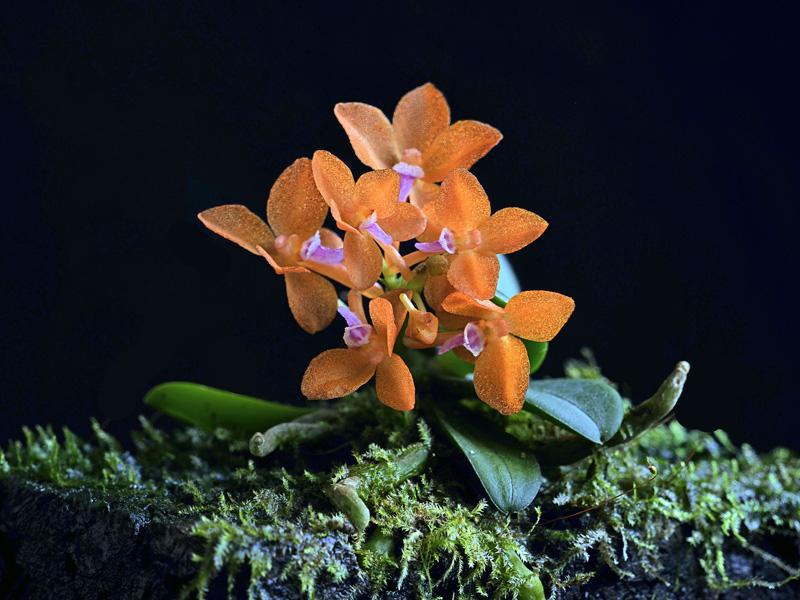 Miniatur-Orchideen Teil 6 - Seite 4 Cerato17