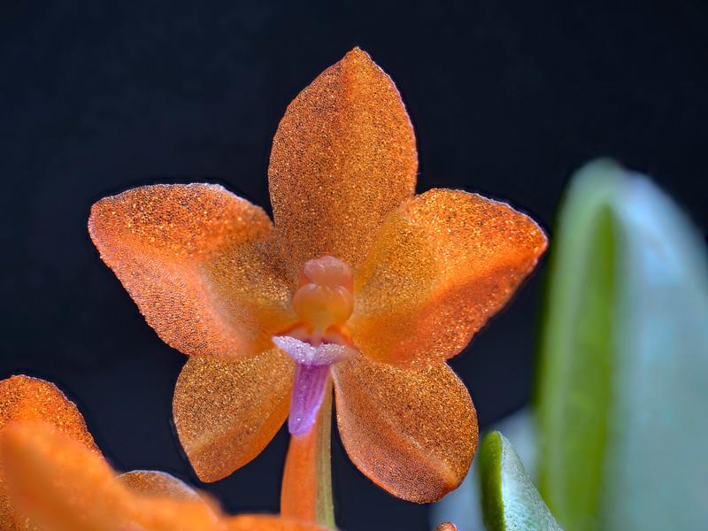 Makroaufnahmen von Miniaturorchideen Cerato23