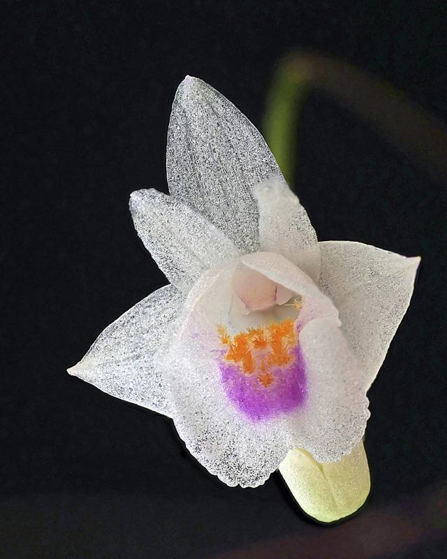 Makroaufnahmen von Miniaturorchideen Consch11