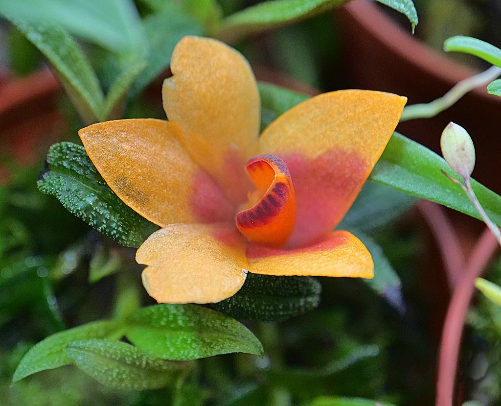 Miniatur-Orchideen Teil 5 - Seite 6 Cuthbe11