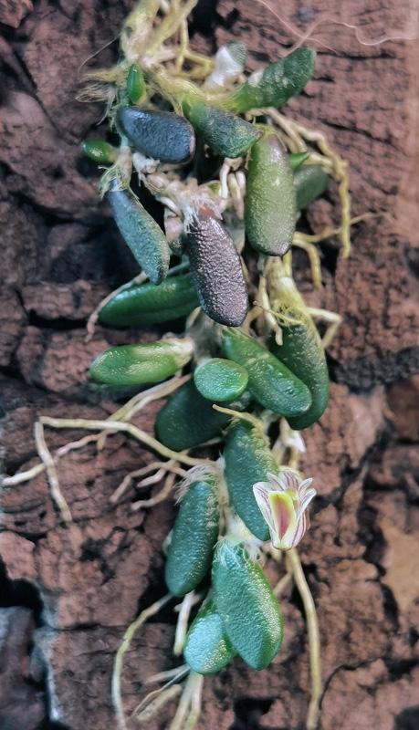 Dendrobium lichenastrum Dend_l11