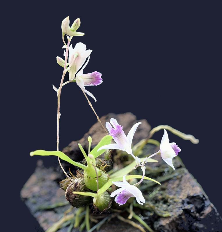 Dendrobium microbulbon Dend_m13
