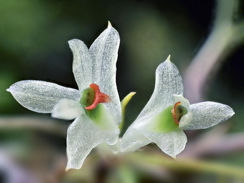 Dendrobium masarangense Dendro17