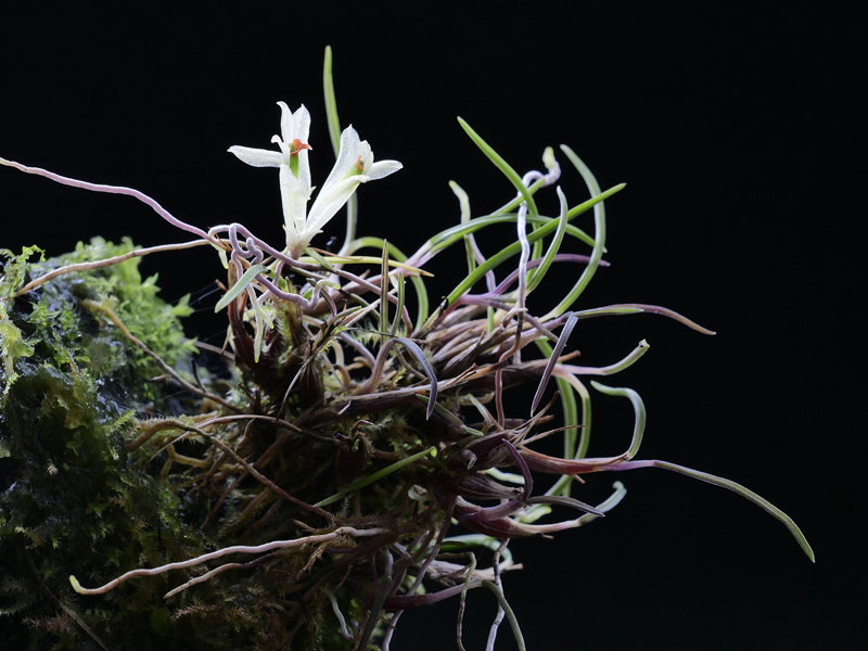 Dendrobium masarangense Dendro18