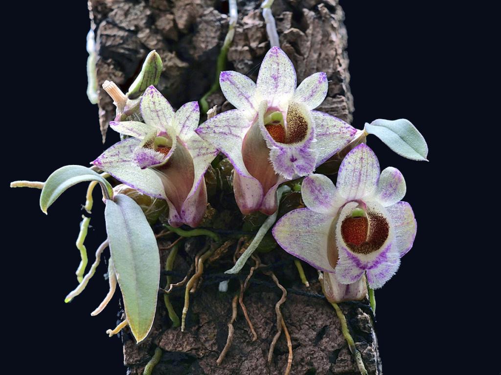 Dendrobium hekouense Dendro23