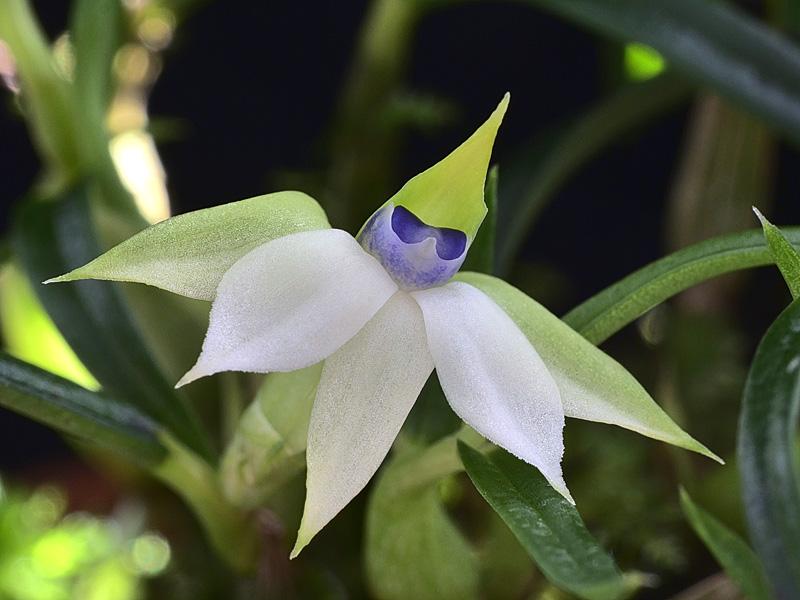 Dendrobium cyanocentrum Dendro25