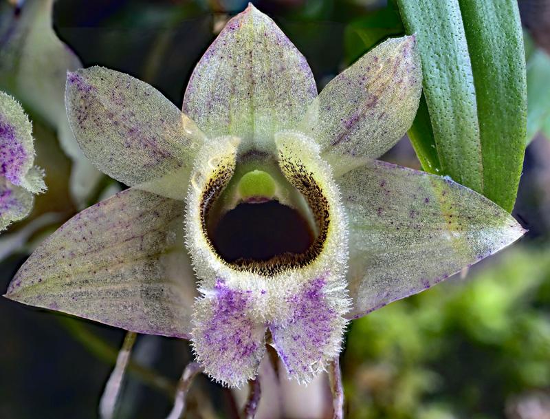Dendrobium hekouense - Seite 2 Dendro36