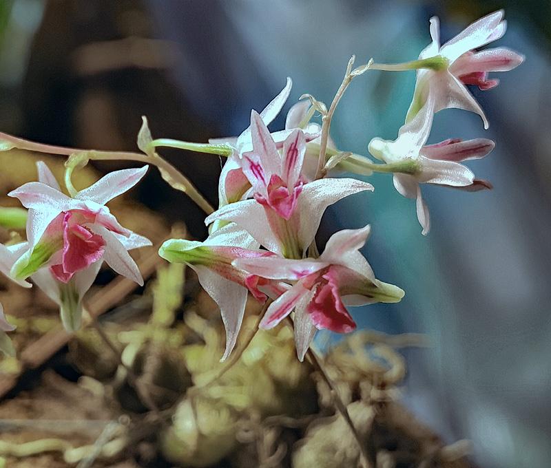 Dendrobium microbulbon Dendro39