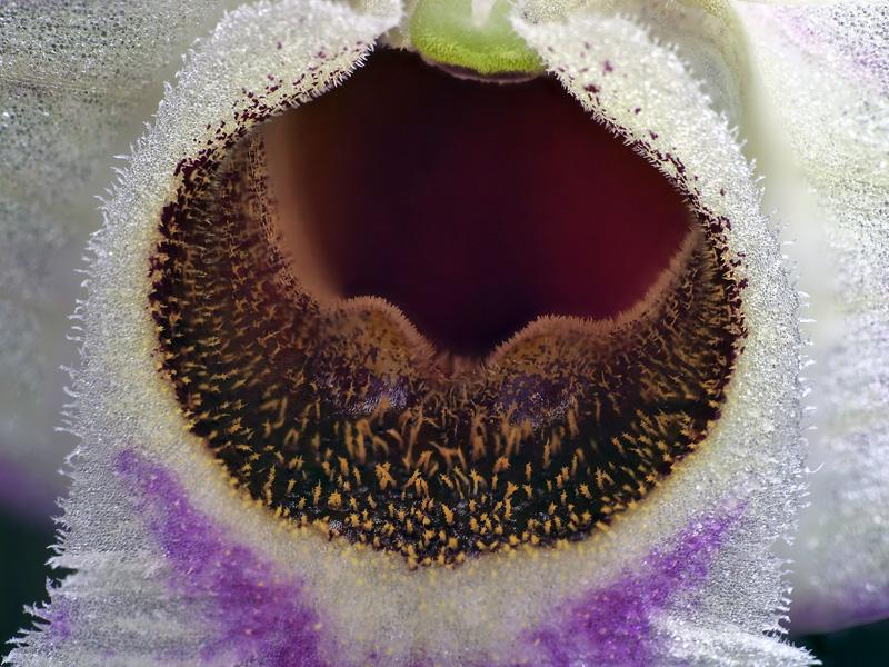 Makroaufnahmen von Miniaturorchideen - Seite 3 Dendro48