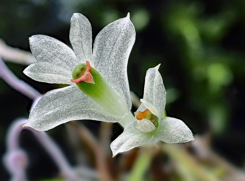 Makroaufnahmen von Miniaturorchideen - Seite 3 Dendro50