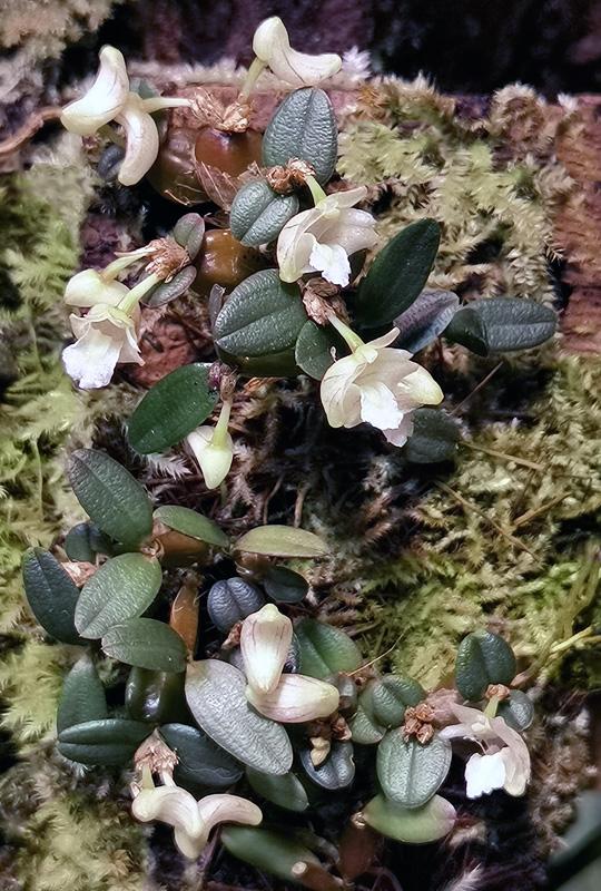Dendrobium pachyphyllum Dendro51