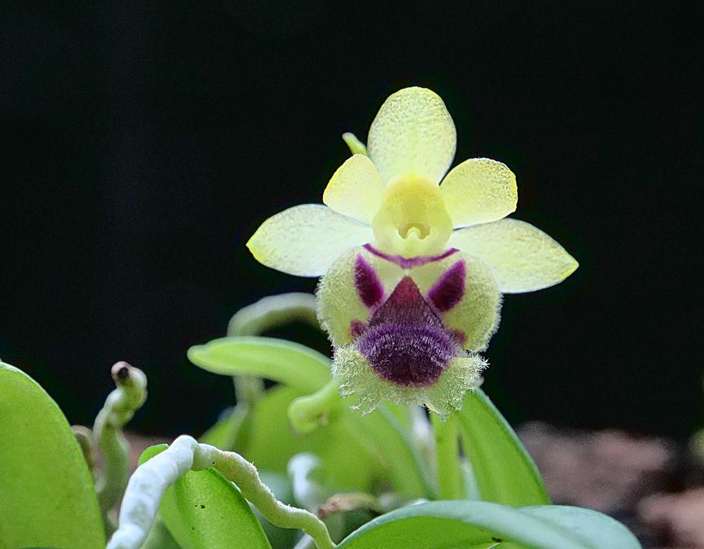 Miniatur-Orchideen Teil 5 - Seite 4 Harael11