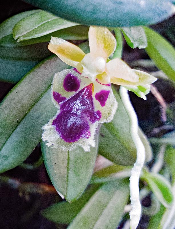 Miniatur-Orchideen Teil 5 - Seite 43 Harell10