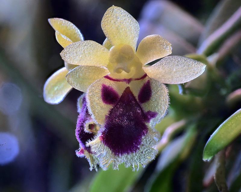 Makroaufnahmen von Miniaturorchideen Harell11