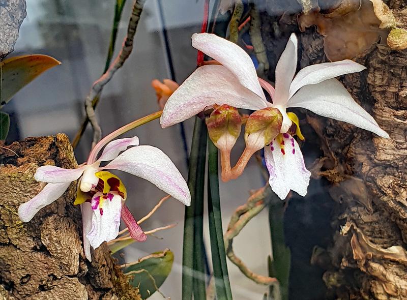 Miniatur-Orchideen Teil 6 Holcog10